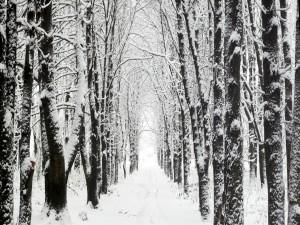 Filas de árboles cubiertos de nieve