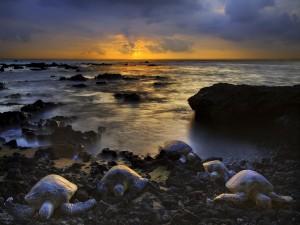 Tortugas saliendo del mar