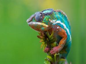 Bonito camaleón en el extremo de una rama