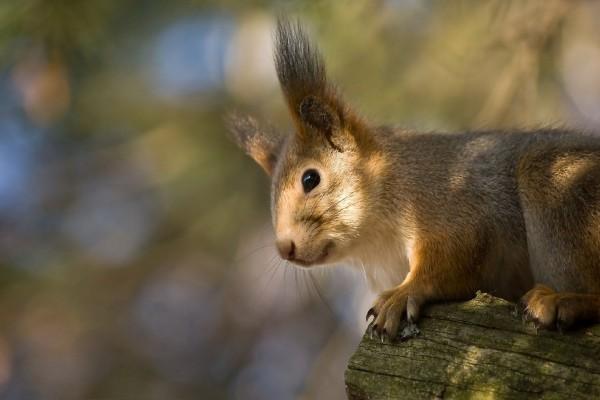 Ardilla de largas orejas sobre un tronco