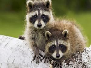 Dos tímidos mapaches