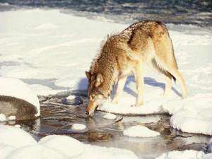 Lobo bebiendo agua en invierno