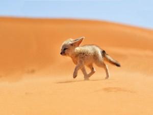 Fénec caminando sobre la arena del desierto