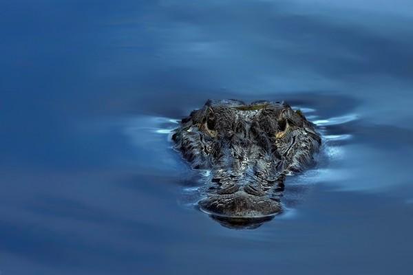 La cabeza de un cocodrilo en la superficie del agua