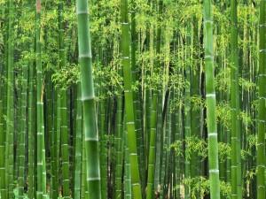 Hermoso bosque de bambú
