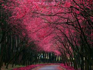 Hermosos árboles con flores rosas