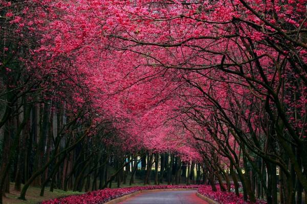 Hermosos Arboles Con Flores Rosas 59250