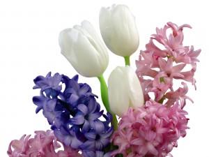 Hermosos tulipanes blancos entre jacintos