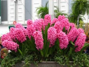 Bellos jacintos rosas en un jardín urbano