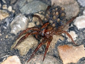 Araña lobo portando varias crías en su abdomen
