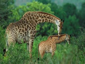 Jirafa lamiendo a su cría