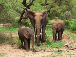 Familia de elefantes africanos