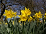 Narcisos amarillos en primavera