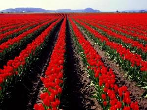 Espectacular campo sembrado con tulipanes rojos