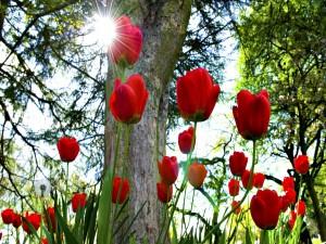 Tulipanes rojos iluminados por los rayos del sol