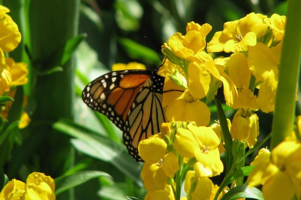 Mariposa posada sobre unas flores amarillas