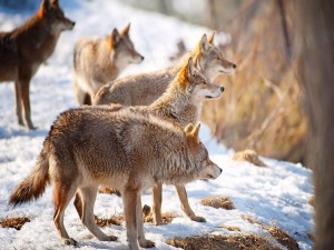 Lobos hambrientos buscando comida