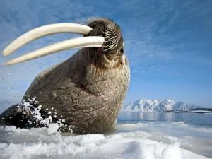 Morsa en el océano Ártico