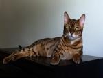 Un bonito gato tumbado sobre un mueble oscuro