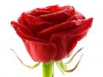 Bella rosa roja con gotitas de rocío
