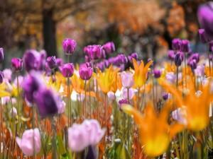 Tulipanes amarillos, rosas y púrpuras en un jardín