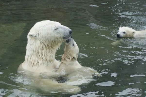 Un oso polar con sus crías en el agua