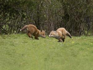 Dos zorros rojos jugando en la hierba