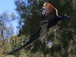 Un impresionante pavo real volando
