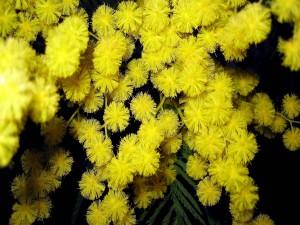 Bellas mimosas amarillas