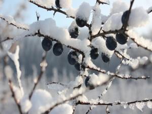Arándanos congelados en las ramas