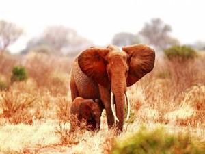 Elefante africano junto a su cría