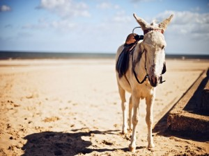 Un burro blanco en una playa