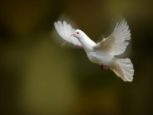 Paloma blanca con una ramita en el pico