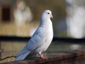 Paloma blanca sobre una cerca