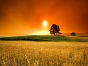 Campo de trigo en verano
