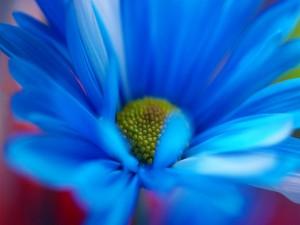 Una margarita azul