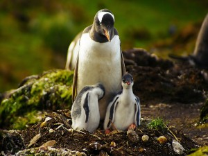 Mamá pingüino cuidando de sus dos polluelos