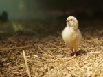 Un pollito sobre la paja