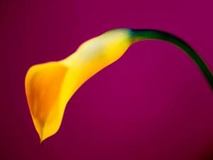 Una hermosa cala amarilla