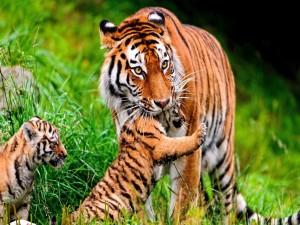 Mamá tigre cuidando de sus cachorros