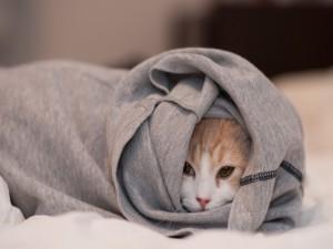 Gato dentro de una sudadera gris
