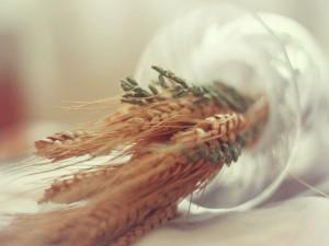 Espigas de trigo en un recipiente