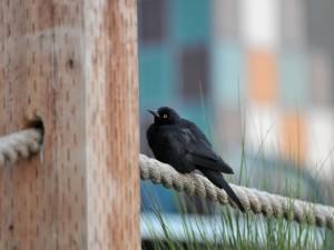 Pájaro negro sobre una cuerda