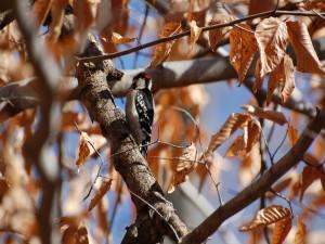 Pájaro carpintero en un árbol con hojas secas