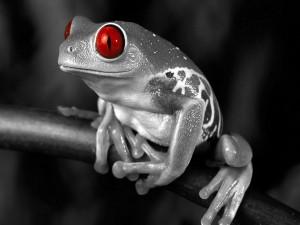 Rana en blanco y negro con los ojos rojos