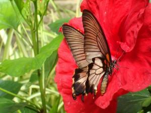 Mariposa marrón sobre una flor roja