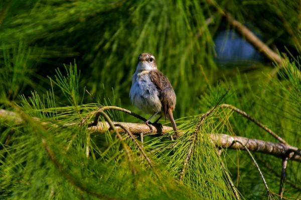 Gorrión en la rama de un pino