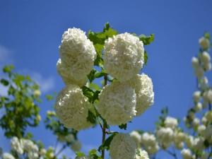 Hortensias blancas bajo un cielo celeste
