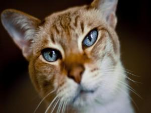 La cara de un gato con ojos azules