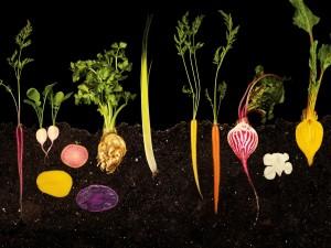 El crecimiento de unas hortalizas